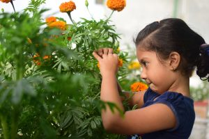 a child picking edible flowers with Kids Gardening RK Alker Children's Author Chilliman Grower Food Evangelist Cook from Little Green Men Chilli, Chorley, Lancashire, England, UK, Tel. 01772970190