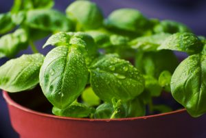 Basil herbs in a pot with Kids Gardening RK Alker Kids' Author Chiliman Grower Food Evangelist Cook from Little Green Men Chili, Chorley, Lancashire, England, UK, Tel. 01772970190